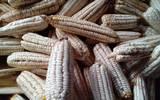 Con los granos del elote preparan atole blanco, tamales de maíz, tortillas o tlaxcalas.