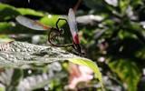 Las libélulas, en general, son resilientes al cambio de uso de suelo