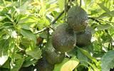 Aguacate en el árbol Morelos